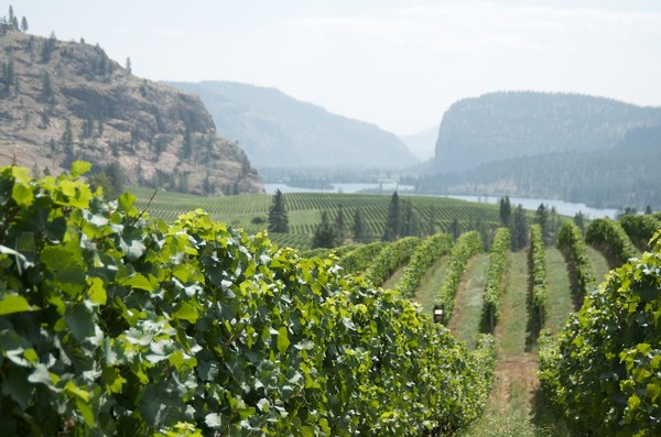 Okanagan Vineyard View